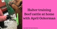 Halter Training Beef Cattle at home with April Ockerman