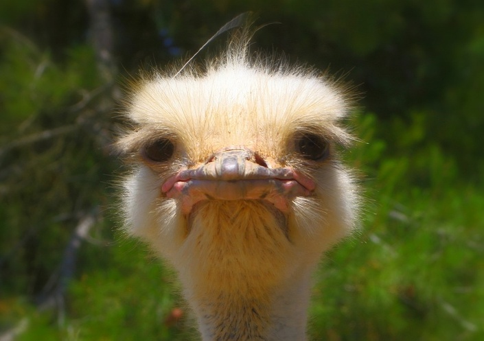 J5imjuhgtccoo7bk8f81 ostrich 992753 960 720