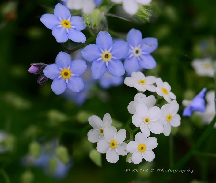 Iay1pc2nq9iukavsje3j forget me not 2015